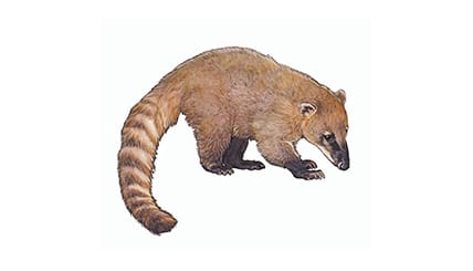 Illustration Nasenbär
