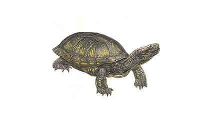 Illustration Europäische Sumpfschildkröte