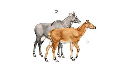 Illustration Nilgauantilope