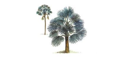 Illustration Bismarck-Palme
