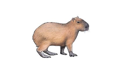 Illustration Capybara
