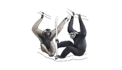 Illustration Kappengibbon