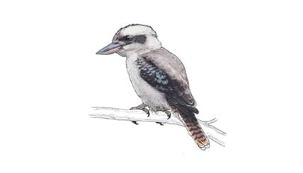 Illustration Lachender Hans oder Kookaburra