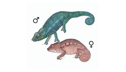 Illustration Pantherchamäleon