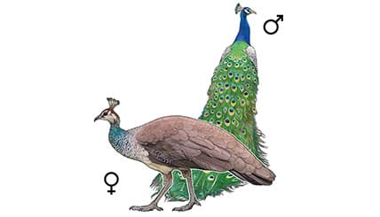 Illustration Blauer Pfau