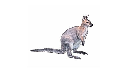 Illustration Bennett-Wallaby