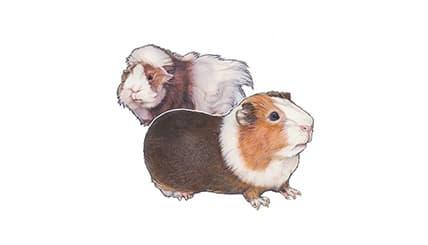 Illustration Hausmeerschweinchen