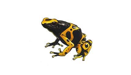 Illustration Gelbgebänderter Pfeilgiftfrosch