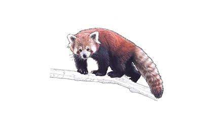 Illustration Kleiner Panda