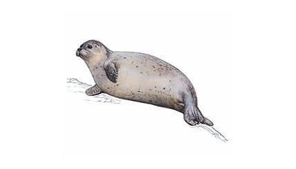 Illustration Seehund