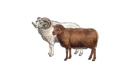 Illustration Ouessant-Schaf