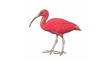 Illustration Roter Ibis