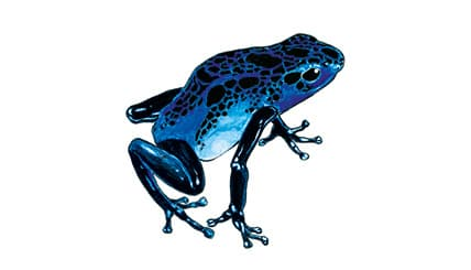 Illustration Blauer Pfeilgiftfrosch