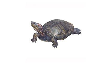 Illustration Kinnfleck-Schmuckschildkröte