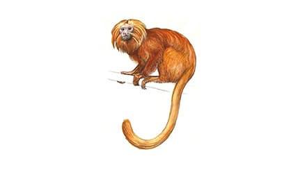 Illustration Goldgelbes Löwenäffchen