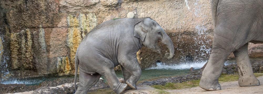 Asiatischer Elefant Ruwani im Kaeng Krachan Elefantenpark im Zoo Zürich.