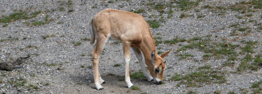 Junge Säbelantilope in der Lewa Savanne im Zoo Zürich.