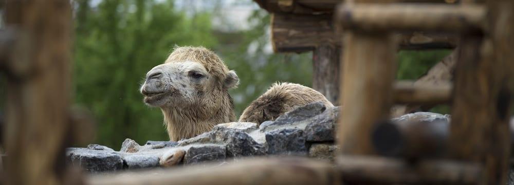 Trampeltier in der Mongolischen Steppe im Zoo Zürich