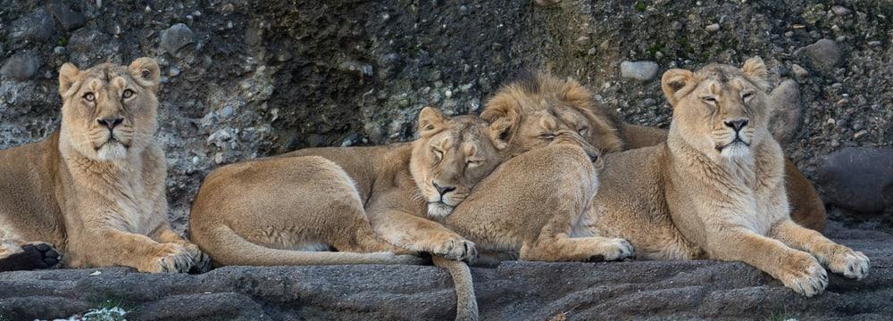 Des lions indiens au zoo de Zurich