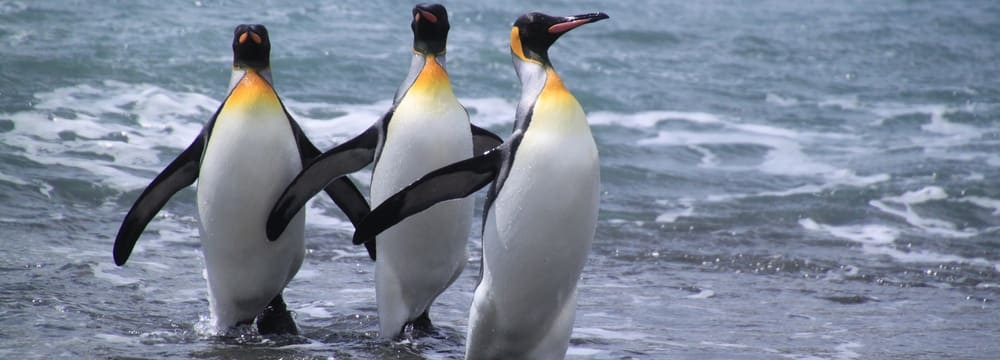 Königspinguine in der Antarktis
