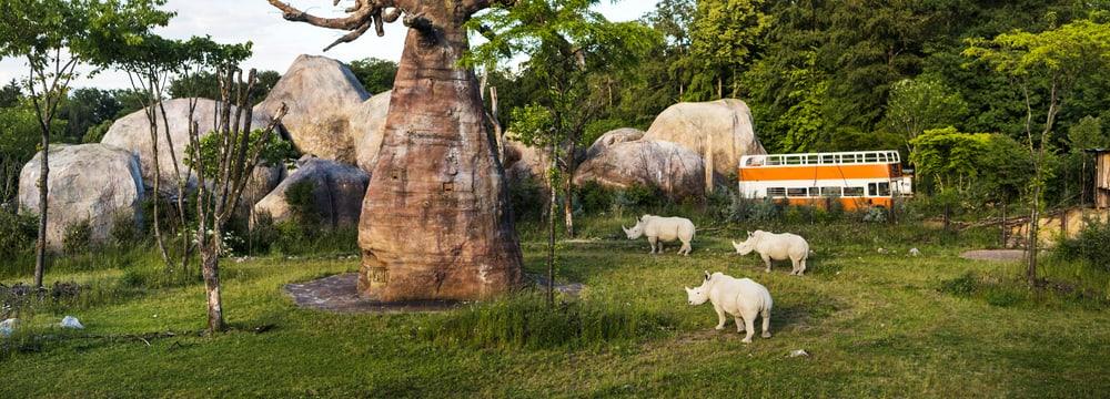Breitmaulnashörner auf der Lewa Savanne im Zoo Zürich.
