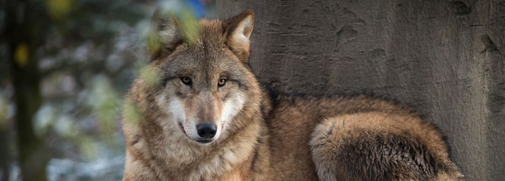 Mongolischer Wolf im Zoo Zürich