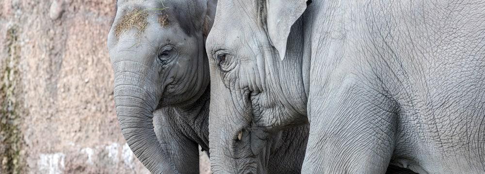 Asiatische Elefanten Omysha und Chandra im Zoo Zürich.