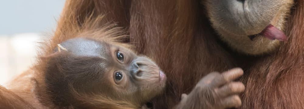 Junger Sumatra-Orang-Utan Riang im Zoo Zürich.