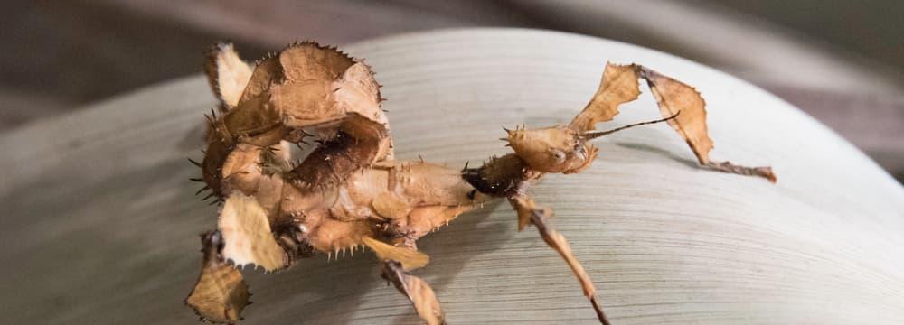 Australische Gespenstschrecke.