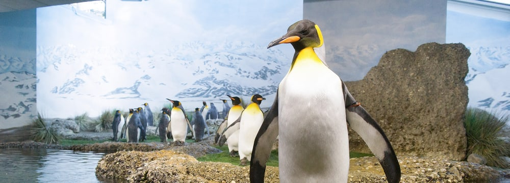 Königspinguine im Aquarium des Zoo Zürich.