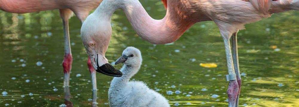 Junger Chile-Flamingo im Zoo Zürich.