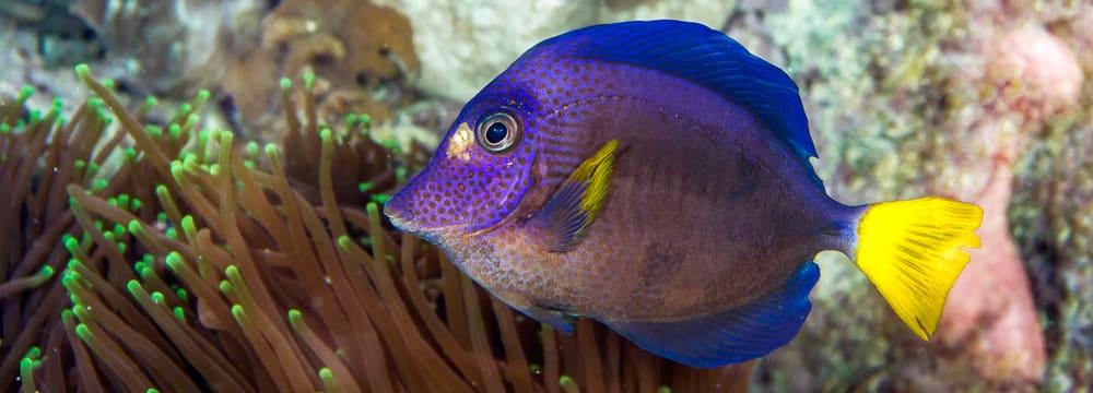 Blauer Segelflossen-Doktorfisch
