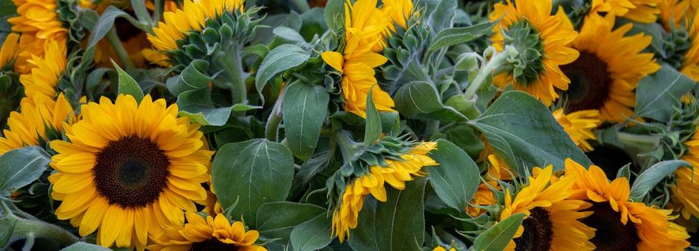 Sonnenblumen zum Gedenken im Zoo Zürich.
