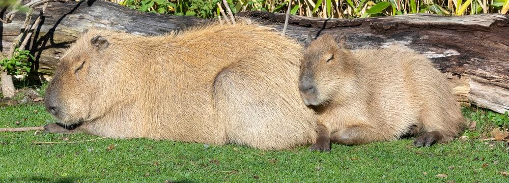 Schlafende Capybaras im Zoo Zürich.