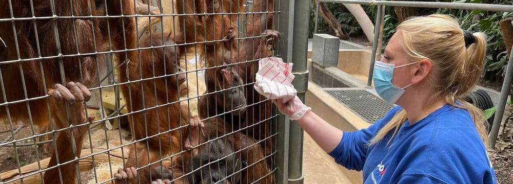Tierpflegerin Doris Heimgartner macht mit einem Tuch einen Abrieb für eine Geruchsprobe der Sumatra-Orang-Utans.