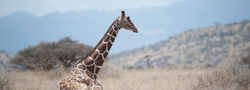 Netzgiraffe in der Lewa Wildlife Conservancy in Kenia