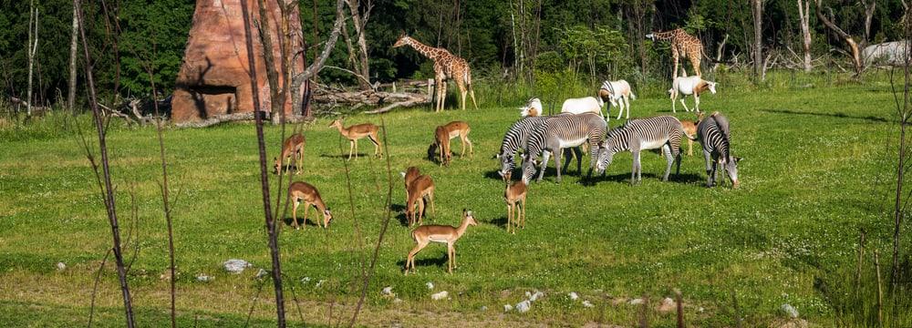 Lebensgemeinschaft in der Lewa Savanne im Zoo Zürich.