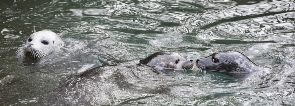 Seehund beim Schwimmen im Zoo Zürich.