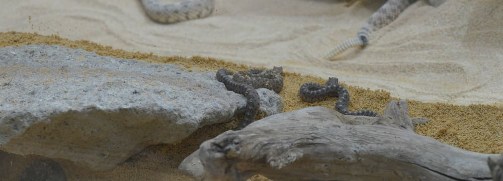 Junge Seitenwinder-Klapperschlangen im Zoo Zürich.