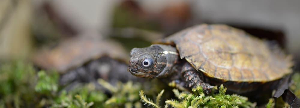 Spenglers Zacken-Erdschildkröte im Zoo Zürich.