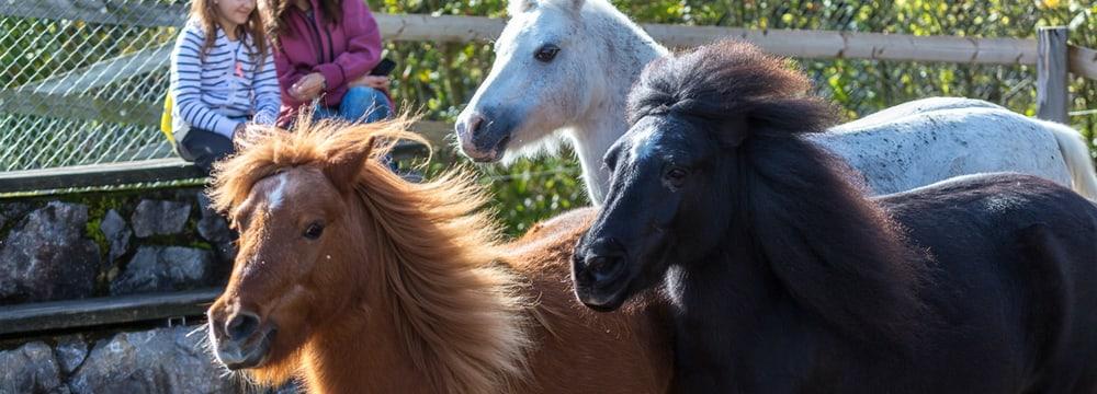 Ponys im Zoolino im Zoo Zürich