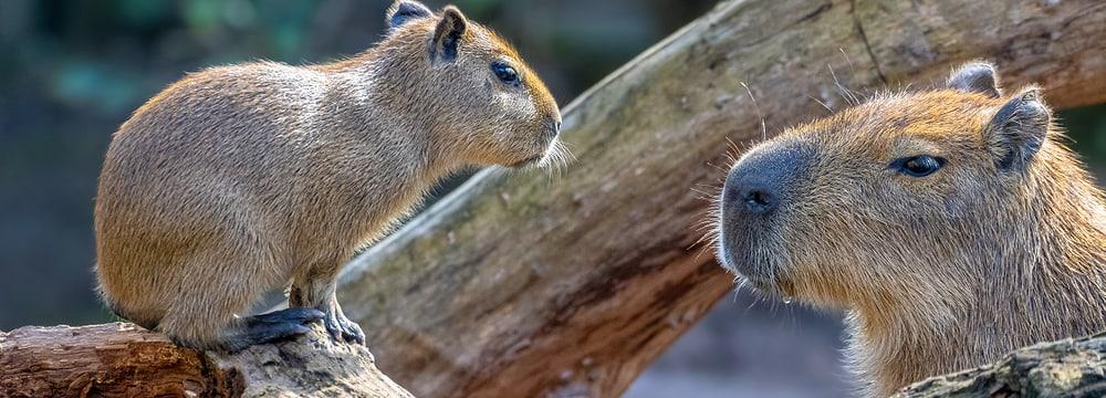 Capybaras im Zoo Zürich