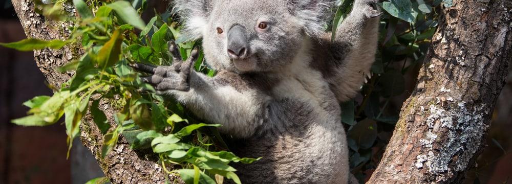 Koala in der Australienanlage im Zoo Zürich.