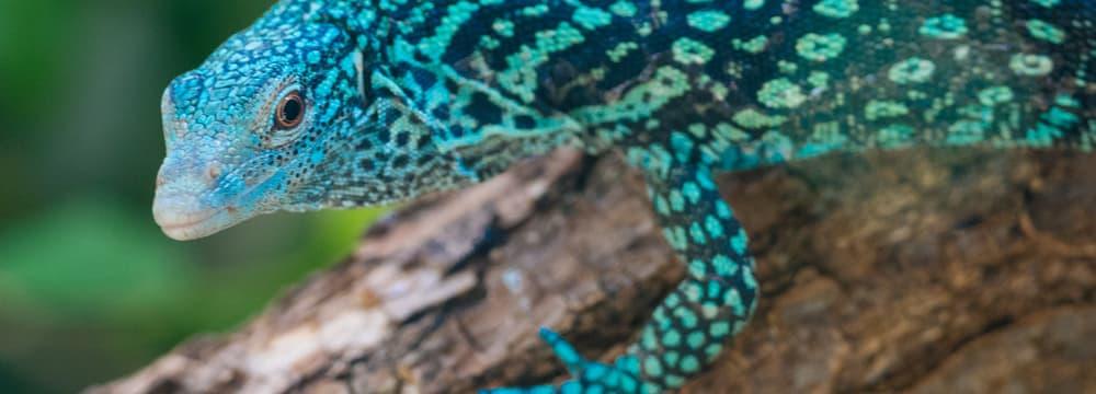 Blauer Baumwaran im Zoo Zürich.