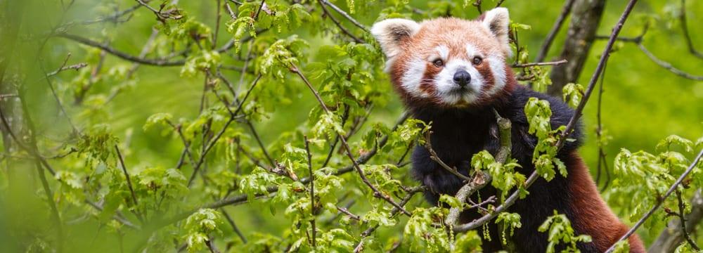 Kleiner Panda im Zoo Zürich