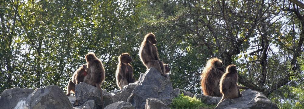 Dscheladas im Zoo Zürich.