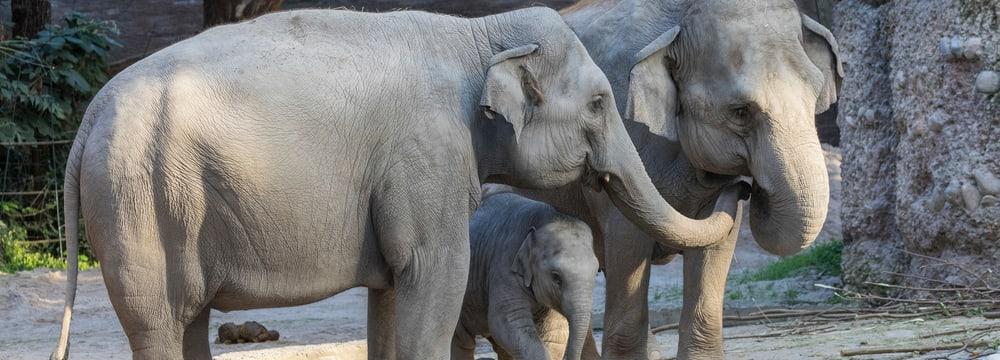 Asiatische Elefanten Farha, Ruwani, Ceyla-Himali im Kaeng Krachan Elefantenpark im Zoo Zürich.