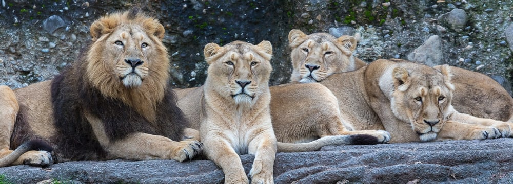 Indische Löwen im Zoo Zürich