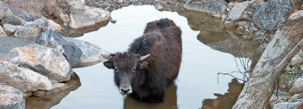 Hausyak in der Mongolischen Steppe im Zoo Zürich
