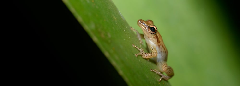 Frosch im Masoala Nationalpark in Madagaskar
